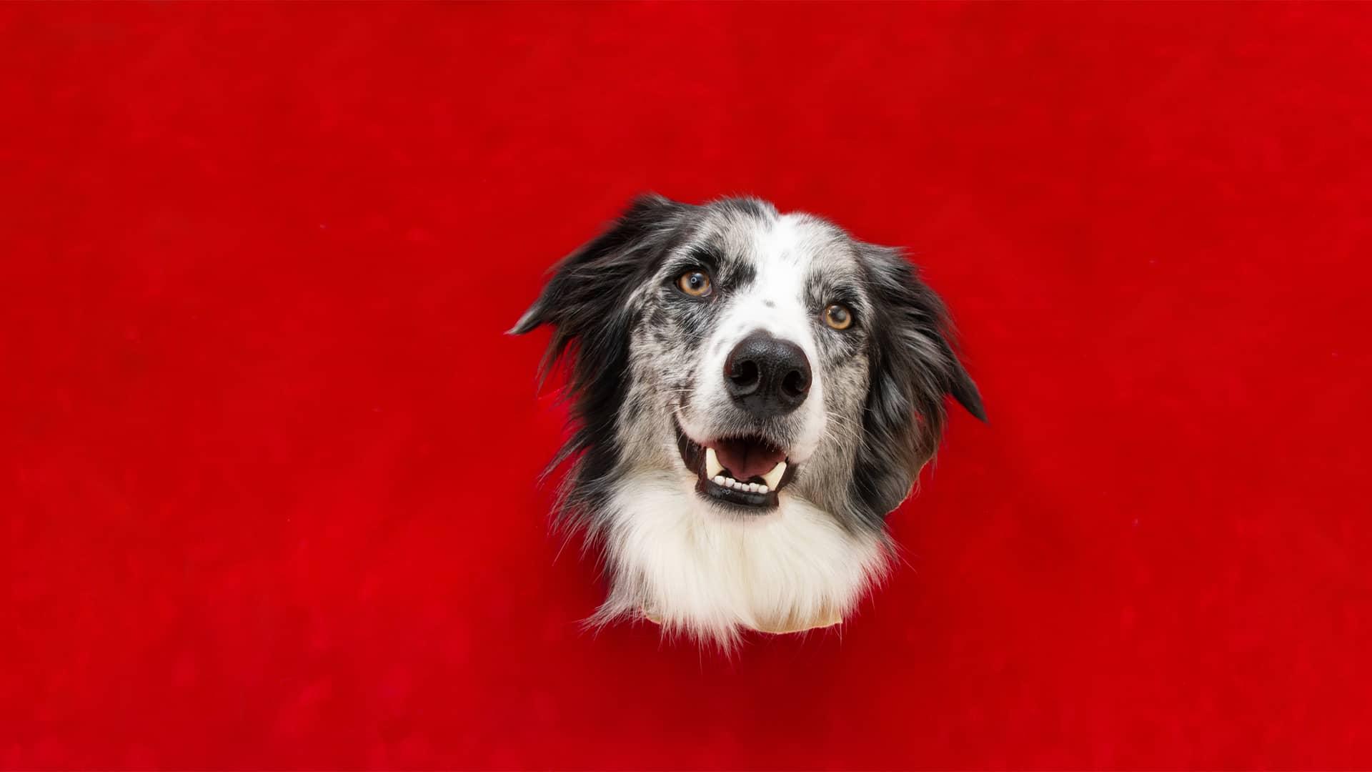 Vodafone V-Pet para mascotas: características y precios